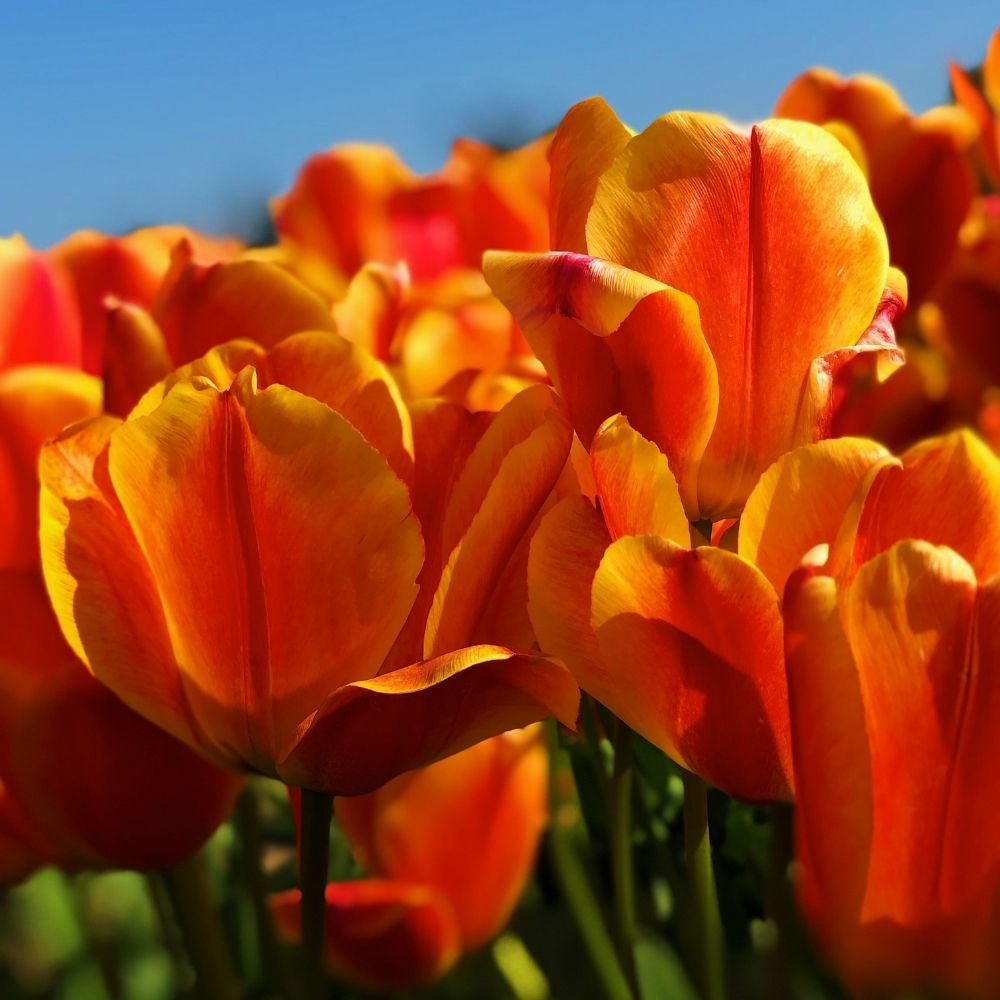DGT #6 - 13.000 tulips for our heroes